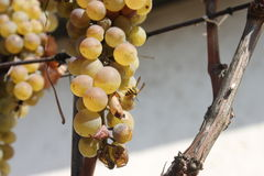 Uva bianca con l'ape Fotografie Stock