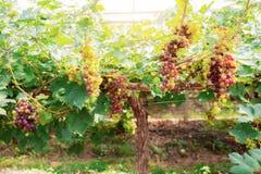 Uva bianca e rossa che appende alla luce solare fotografie stock libere da diritti