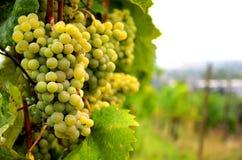 Uva bianca fresca Immagini Stock