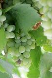 Uva bianca matura dalla Macedonia Immagini Stock