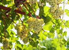 Uva bianca nella vigna Fotografia Stock Libera da Diritti