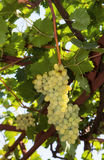 Uva bianca nella vigna Fotografie Stock
