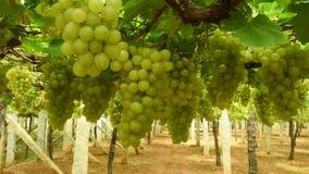 Uva bianca in vigna stock footage
