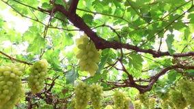 Uva bianca in vigna archivi video