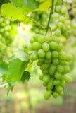 Uva blanca en la vid Fotos de archivo
