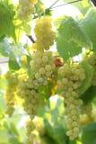 Uva blanca madura Foto de archivo