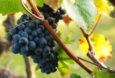 Uva blu e colori di autunno Immagini Stock Libere da Diritti