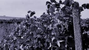 Uva blu nell'iarda della vite, vista del primo piano archivi video