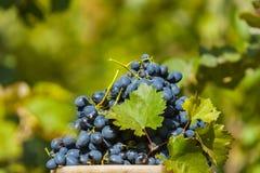 Uva blu in secchio dopo il raccolto immagini stock libere da diritti