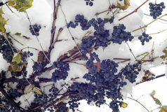 Uva blu sotto la neve Fotografia Stock