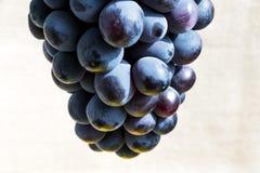 Uva blu succosa fotografia stock libera da diritti