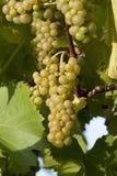Uva branca madura pronta para a colheita. Foto de Stock Royalty Free