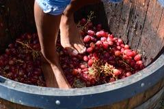 Uva che batte i piedi Hunter Valley Il Nuovo Galles del Sud l'australia Fotografia Stock
