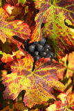 Uva colhida para o winemaking Imagem de Stock Royalty Free