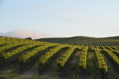 A uva coloca Napa Valley na maneira a Santa Rosa Imagens de Stock Royalty Free