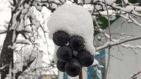 Uva congelata con neve La prima neve è caduto sull'uva fotografia stock libera da diritti