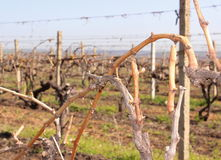 Uva crescente per vino in Moldavia Cricova Immagini Stock