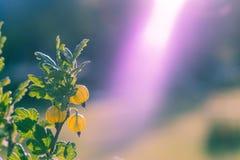 Uva-crispa del Ribes de la grosella espinosa en una grosella espinosa Bush Foto de archivo