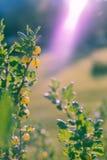 Uva-crispa del Ribes de la grosella espinosa en una grosella espinosa Bush Fotografía de archivo