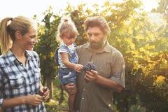 Uva d'esame del coltivatore del vino Fotografia Stock Libera da Diritti