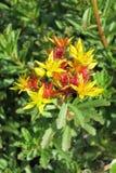 Uva de gato (floriferum de Sedum) foto de archivo libre de regalías