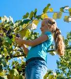 Uva de la cosecha de la muchacha en el jardín Imagen de archivo libre de regalías