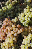 Uva de la uva de la uva Imágenes de archivo libres de regalías