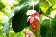 Uva de Rose Foto de archivo libre de regalías