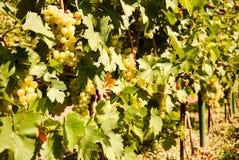Uva de Shardonnay imagem de stock royalty free