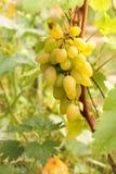 Uva de Shardonnay Imágenes de archivo libres de regalías