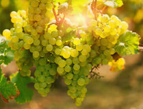 Uva de Shardonnay Fotografia de Stock