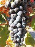 Uva de vino Fotografía de archivo libre de regalías