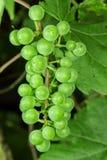 Uva de vino imagenes de archivo