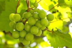 Uva de vino foto de archivo libre de regalías