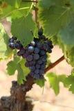 Uva de vino Imagen de archivo libre de regalías