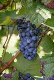 Uva de vino rojo Fotografía de archivo