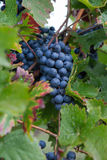 Uva de vino rojo Fotos de archivo