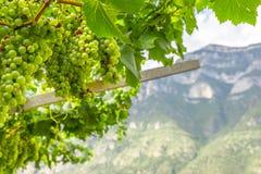 Uva de vino verde en el fondo de la montaña Foto de archivo libre de regalías