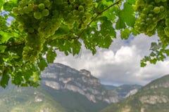 Uva de vino verde en el fondo de la montaña Imágenes de archivo libres de regalías