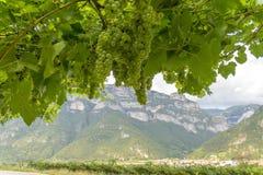 Uva de vino verde en el fondo de la montaña Imagen de archivo