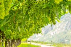 Uva de vino verde en el fondo de la montaña Foto de archivo
