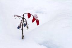 Uva del barranco en invierno Fotos de archivo
