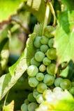 Uva del vino blanco Imágenes de archivo libres de regalías
