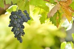 Uva del vino rosso Immagine Stock Libera da Diritti