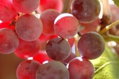 Uva del vino rosso Fotografie Stock Libere da Diritti