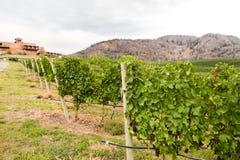 Uva del vino rosso che cresce sulle file delle viti fotografie stock
