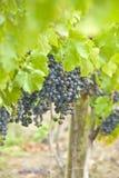 Uva del vino rosso (franco del Cabernet) fotografia stock libera da diritti
