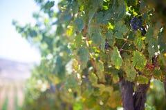 Uva del vino rosso su una vite Fotografie Stock