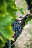 Uva del vino rosso sulla vecchia vite, Toscano immagini stock libere da diritti