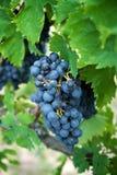 Uva del vino rosso sulla vecchia vite, Toscano immagine stock libera da diritti